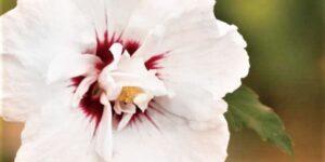 Bali Hibiscus Tree Form Garden Plant