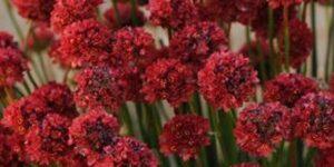Ballerina Red Sea Thrift Garden Plant