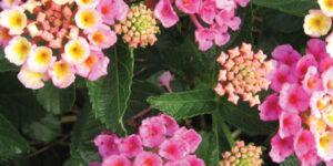 Bandana Pink Lantana Garden Plant