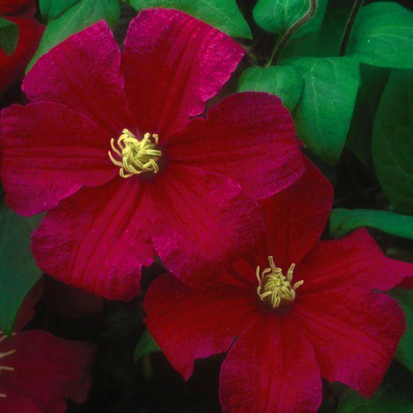 Barbara Harrington Clematis Garden Plant