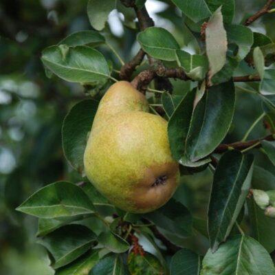 Bartlett Pear Tree Garden Plant