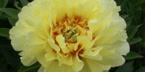 Bartzella Itoh Peony Garden Plant