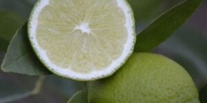 Bearss Lime Tree Garden Plant