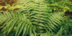 Beautiful Wood Fern Garden Plant