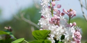 Beauty of Moscow Lilac Garden Plant