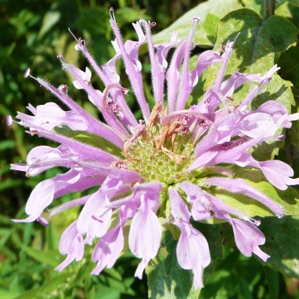 Bee Balm Garden Plant