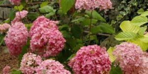 Bella Anna Hydrangea Garden Plant
