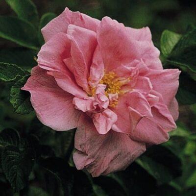 Belle Poitevine Rugosa Rose Garden Plant