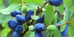 Berry Blue Honeyberry Garden Plant