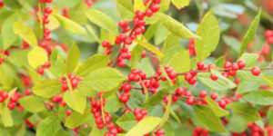 Berry Heavy Winterberry Holly Garden Plant