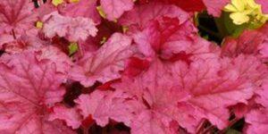 Berry Smoothie Coral Bells Garden Plant