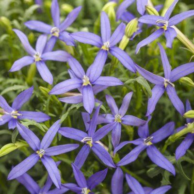 Beth's Blue Star Flower Garden Plant