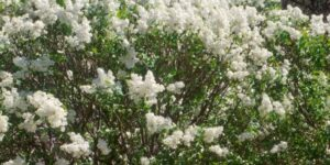 Betsy Ross Lilac Garden Plant