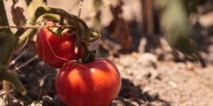 Better Boy Tomato Garden Plant