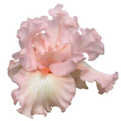 Beverly Sills Iris Garden Plant