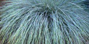 Beyond Blue Festuca Garden Plant