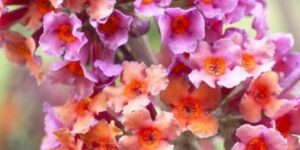 BiColor Butterfly Bush Garden Plant