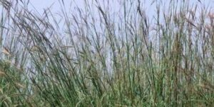 Big Bluestem Grass Garden Plant