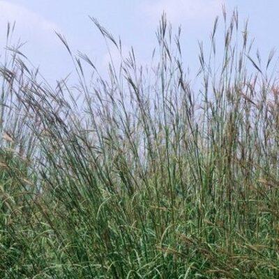Big Bluestem Grass Garden Plant