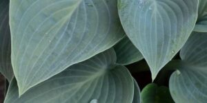 Big Daddy Hosta Garden Plant