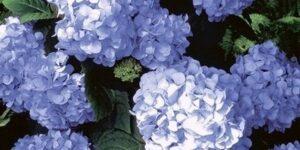 Big Daddy Hydrangea Garden Plant