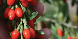 Big Lifeberry Goji Berry Garden Plant