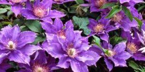Bijou Clematis Garden Plant