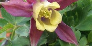 Blackcurrant Ice Columbine Garden Plant