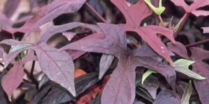 Blackie Sweet Potato Vine Garden Plant