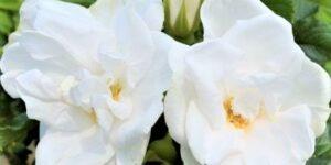 Blanc Double de Coubert Hybrid Rugosa Rose Garden Plant