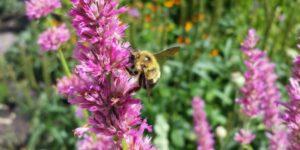 Blazing Star Kobold Gayfeather Garden Plant