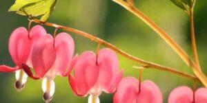 Bleeding Heart Spectabilis Garden Plant