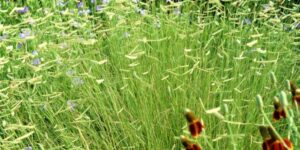 Blonde Ambition Blue Grama Grass Garden Plant