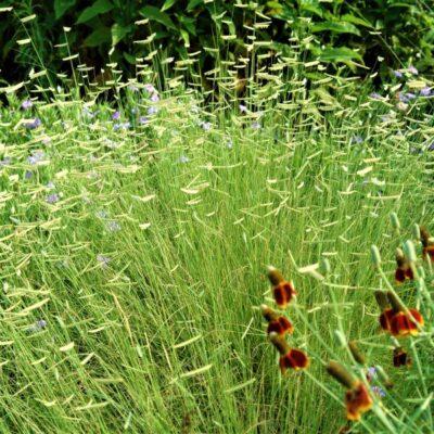 Blonde Ambition Blue Grama Grass Garden Plant