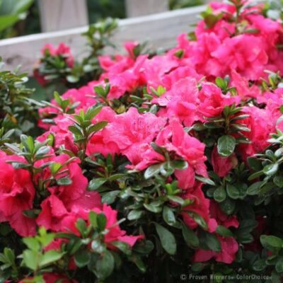 Bloom-A-Thon Hot Pink Reblooming Azalea Garden Plant