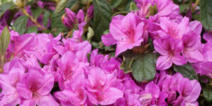 Bloom-a-Thon Lavender Reblooming Azalea Garden Plant