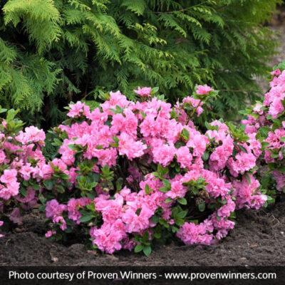 Bloom-a-Thon Pink Double Reblooming Azalea Garden Plant