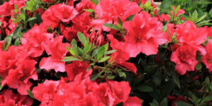 Bloom-A-Thon Red Reblooming Azalea Garden Plant