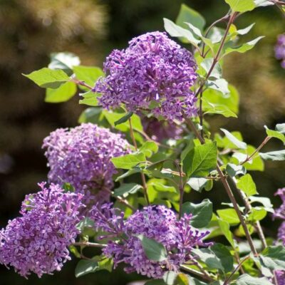 Bloomerang Dark Purple Lilac Garden Plant