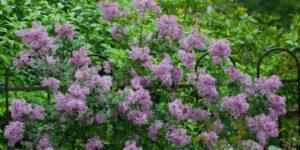 Bloomerang Lilac Garden Plant