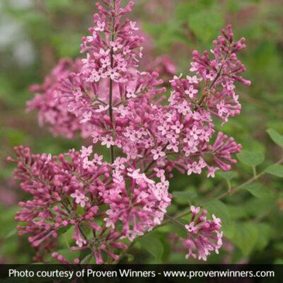 Bloomerang Pink Perfume Lilac Garden Plant