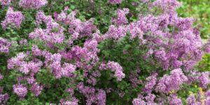 Bloomerang Purple Lilac Tree Garden Plant