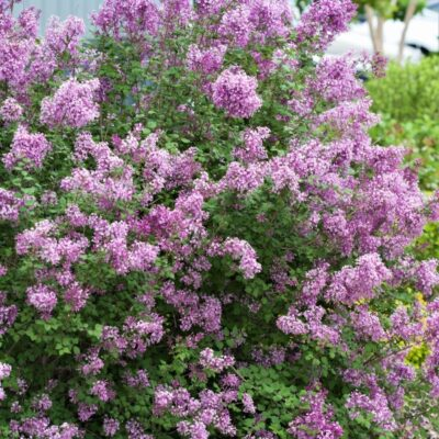 Bloomerang Purple Lilac Tree Garden Plant