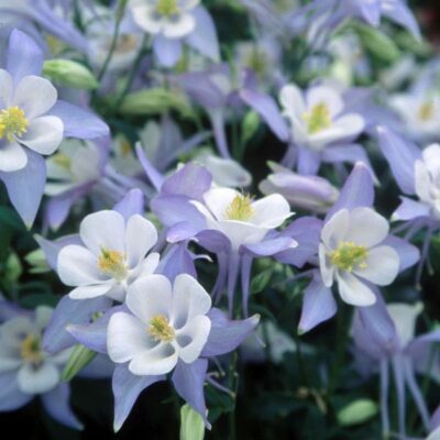 Blue and White Origami Columbine Garden Plant