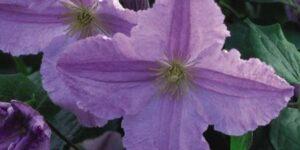 Blue Angel Clematis Garden Plant