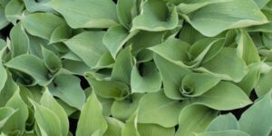 Blue Angel Hosta Garden Plant