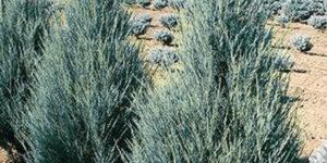 Blue Arrow Juniper Garden Plant