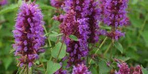 Blue Boa Anise Hyssop Garden Plant