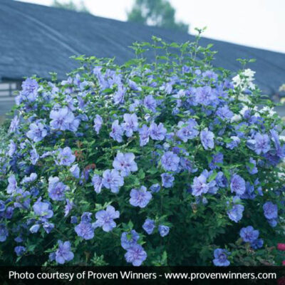 Blue Chiffon Rose of Sharon Garden Plant