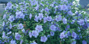Blue Chiffon Rose of Sharon Tree Garden Plant